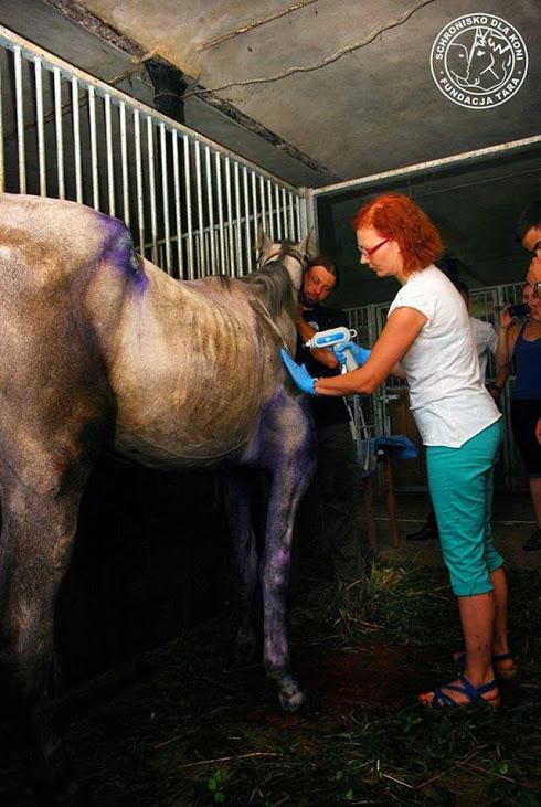 Leczenie koni falą uderzeniową. BardoMed - rehabilitacja